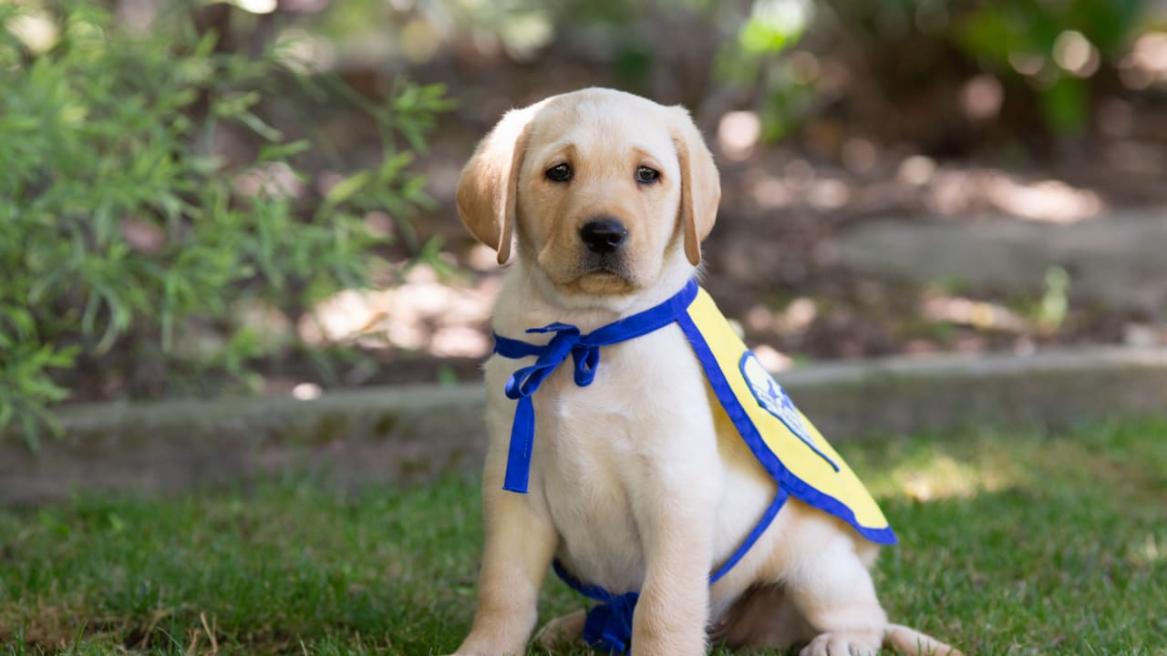The Los Angeles Chargers Have Teamed Up With Canine Companions For Independence To Follow A Puppy Named Bolt On His Journey To Becoming An Assistance Dog